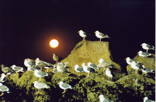 gulls and moon | by Genista