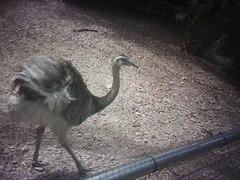 [Moblog] Ostrich at Singapore Bird Park