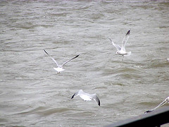 River Gulls