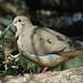 Moorten's Dove