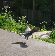 pigeon takeoff
