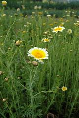 flower of garland chrysanthemum