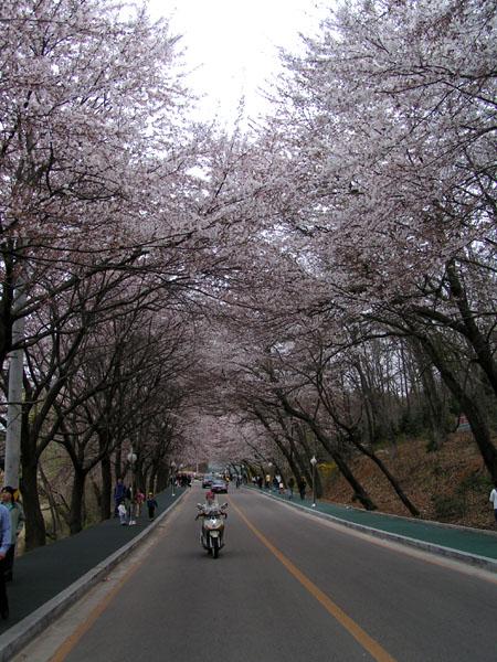 Eunpa Cherry Blossoms