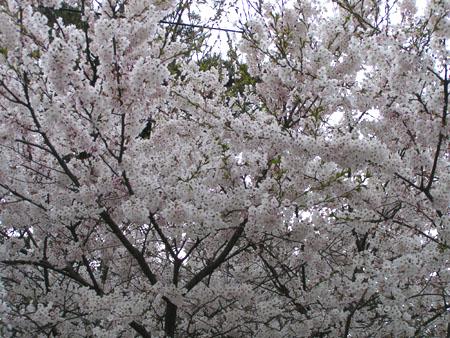 Eunpa Cherry Blossoms  3