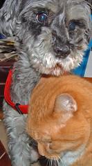 miniature schnauzer and orange tabby cat
