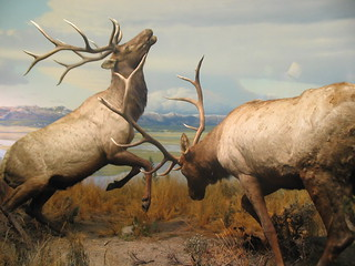 Battling Elk | by hernandezfisher