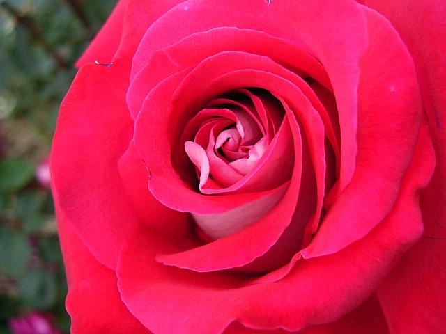 Rose:Princess Kanoya
