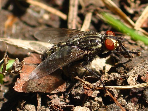 Flesh fly grooming