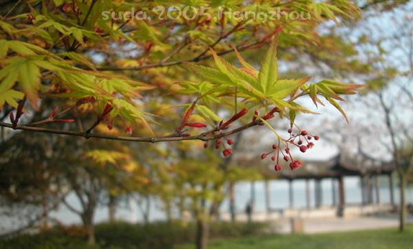Acer palmatum 3