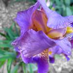 The Irises of Home