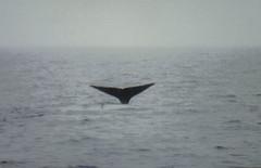 Spermwhale dive3