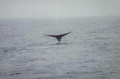 Spermwhale dive2