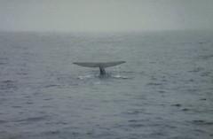 Spermwhale dive1