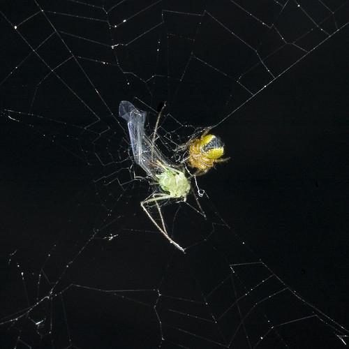 spin met bladluis
