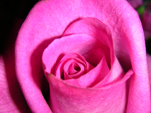 Rose | by amysept