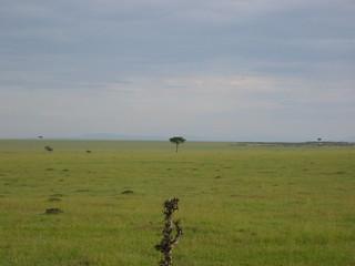 Lone tree in the Masai Mara
