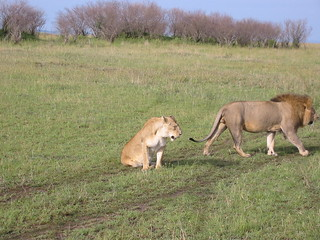 Miffed lioness