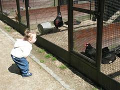Helloooo Chickens