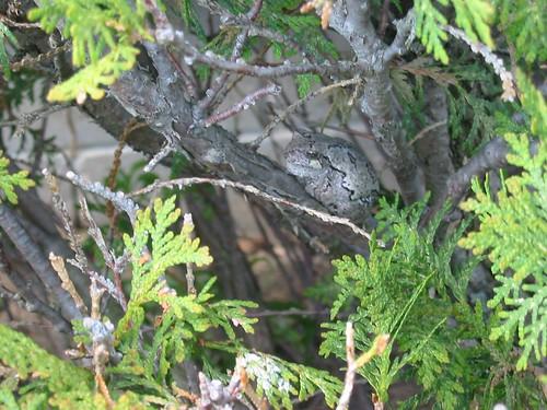 Grey Tree Frog (Hyla versicolor)