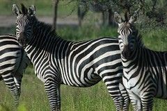 How do you pronounce zebra? | by monojussi