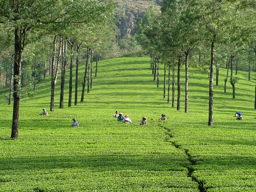 india green landscape tea tata interestingness1 harvest plantation teaplantation kerela munnar plantations top20india specland plantationworkers