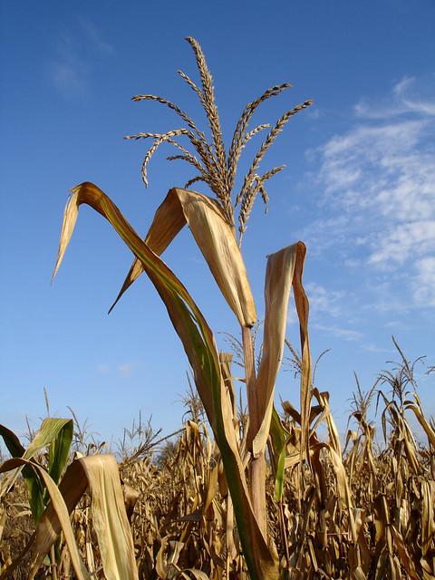 Corn Field No.2