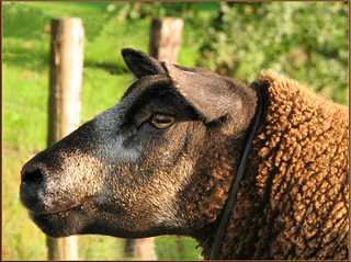 Wool on the hoof