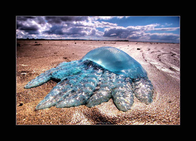 Blubber of the Sea