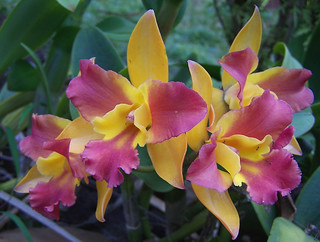 Botanical Gardens--Pink and Yellow Orchid | by Makuahine Pa'i Ki'i