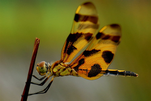 closeup dragonfly nikkor 105vr diamondclassphotographer bratanesque excapture