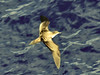 Wedge-Tailed Shearwater - Puffinus pacificus by tobibritsch