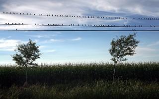 Oiseaux sur les fils / Birds On Wires | by meantux