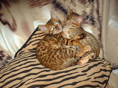 DOLLAR and SABA | by Bengarlis Bengals