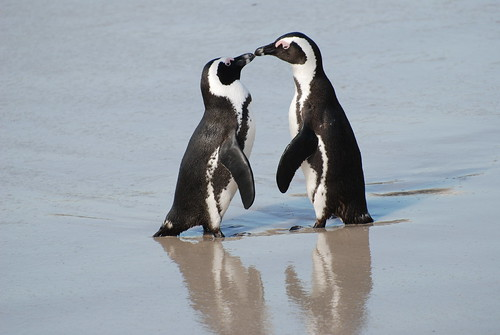 A pair of African penguins, Boulders Beach, South Africa | by Paul Mannix