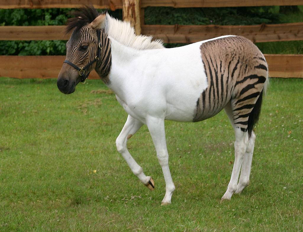 Zebra-Pferd Eclyse im Zoo Safaripark Stukenbrock