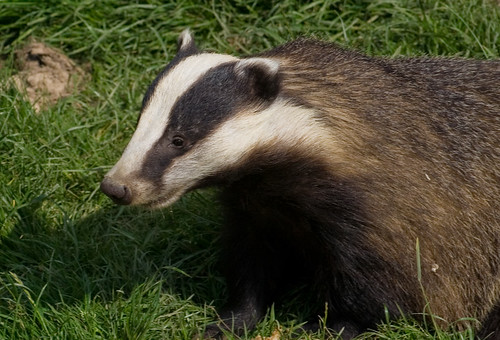 Badger | by Fred Dawson