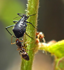 Ant and cow on oak tree 01   by autan
