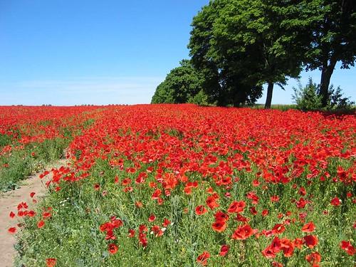 Poppy plantation | by BiLK_Thorn