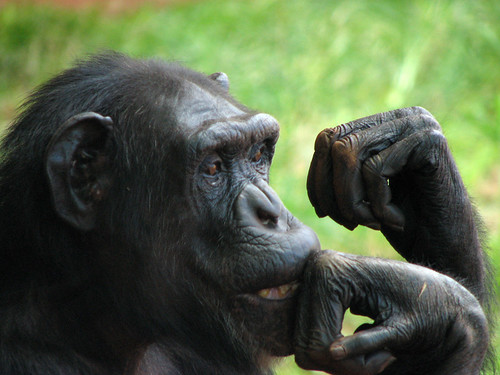 Chimpanzee thinker | by Mely-o