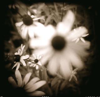 daisys | by Laura Burlton - www.lauraburlton.com