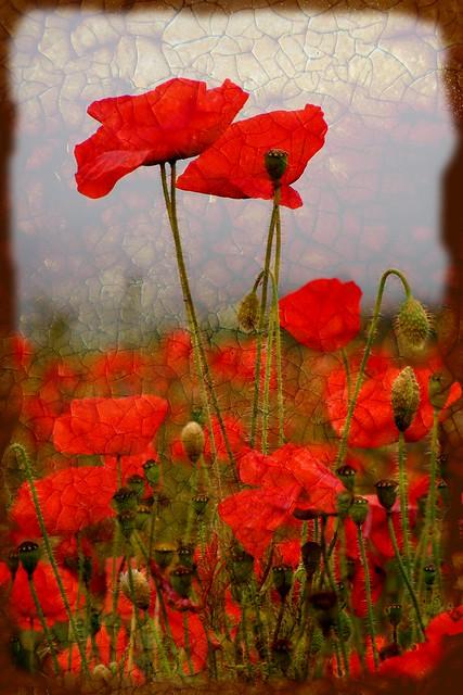 Poppies Craquelure