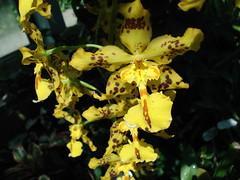 DSC02011 Orchidee