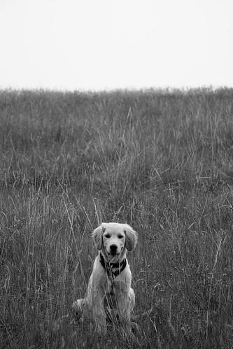 blackandwhite bw golden calvin retriever ©tylerknottgregson