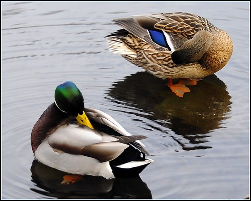 """""""The Mating Habits of Mallards"""" (3 of 3) 