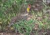 Yellow-necked Spurfowl (Pternistis leucoscepus) by macronyx