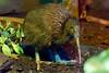 Elusive Kiwi by The.Rohit