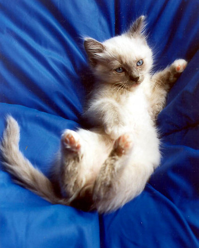 Baby Ragdoll Kitten Reno This Was My Bluepoint Mitted R