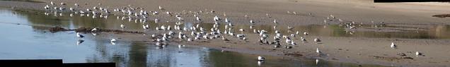 JB141054_9 101114 Goleta beach slough east zoom gulls ICE p3 stitch