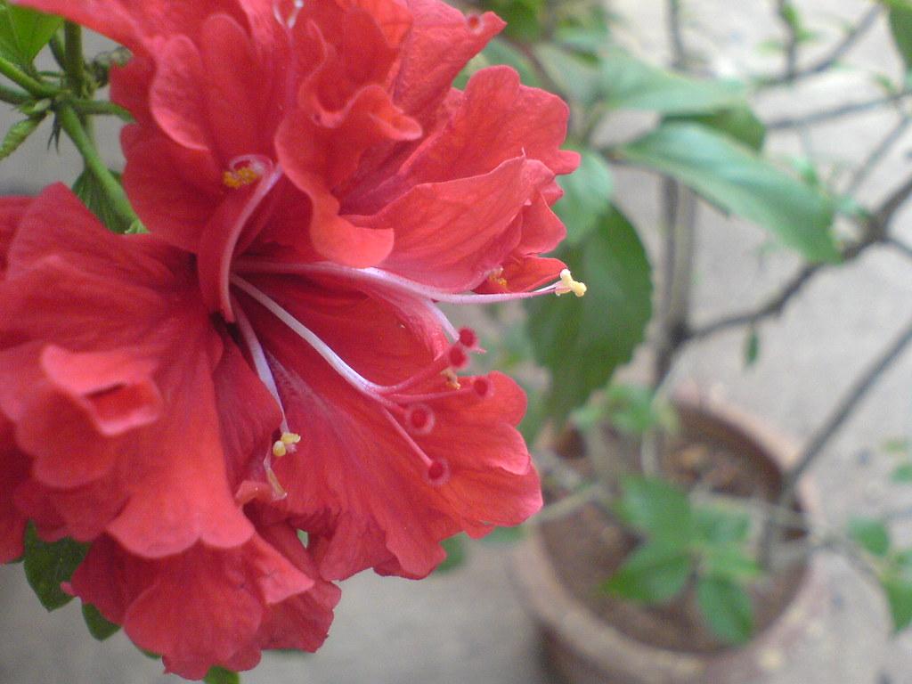 Gurhal Hindi गढल Malvaceae Mallow Family Hibiscus