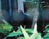 Salvadori's pheasant by paco2046 [skype: hiplakat]